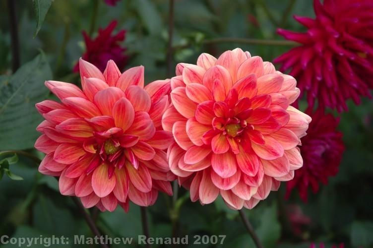 Blume2